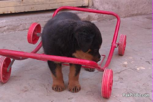 Female rottweiler puppy for sale