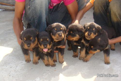 Non-pedigree Rottweiler pup for sale