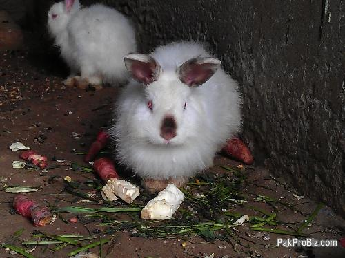 California rabbits for sale | Pets for sale in Multan, Punjab