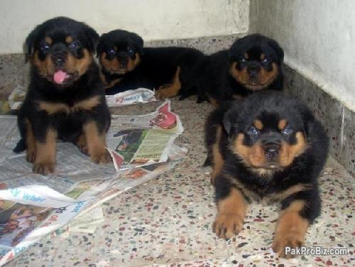 show quality rottweiler puppies for sale - Karachi, Sindh