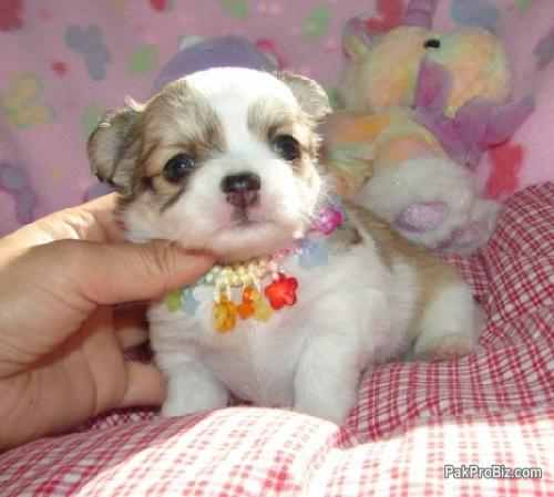 Teacup Baby Chihuahua Puppies for Adoption
