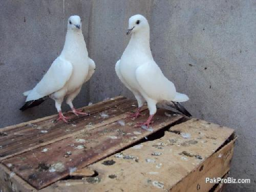 Indians High Flyers For Sale | Pets for sale in Multan